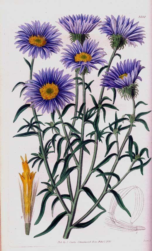 Purple Aster Botanical Illustration Botanical Illustration Vintage Botanical Prints Botanical Painting