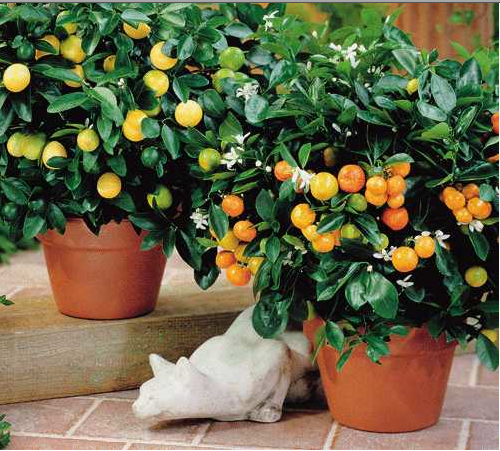 Citrus Fruit Cocktail Tree Branches Of Lemon Lime Orange