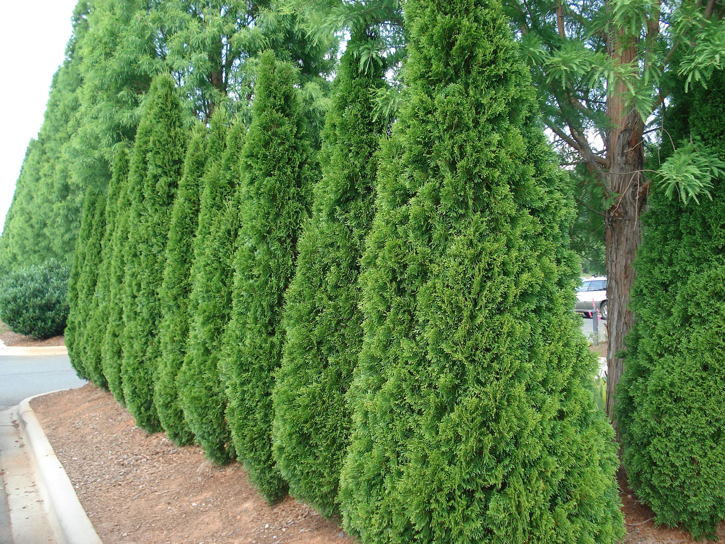 Shrubs For Privacy Fast Growing Trees Medium Sized Privacy Trees To Block Nosey Neighbors Fast Growin Emerald Green Arborvitae Backyard Trees Privacy Trees