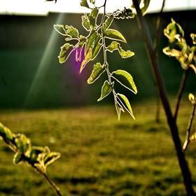 Sun Rimmed Leaf