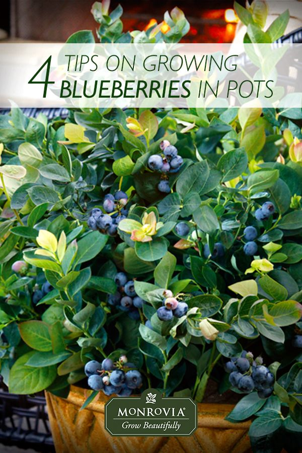 how to grow shrubs in containers