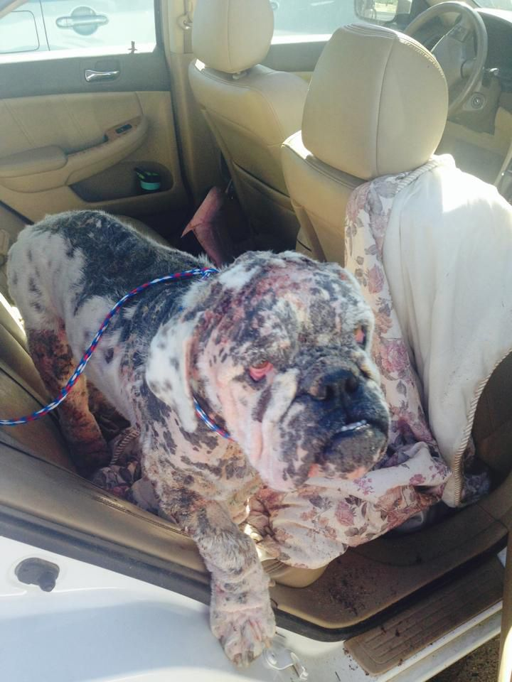Meet Captain An Abandoned Bulldog With Severe Mange Who Needs A