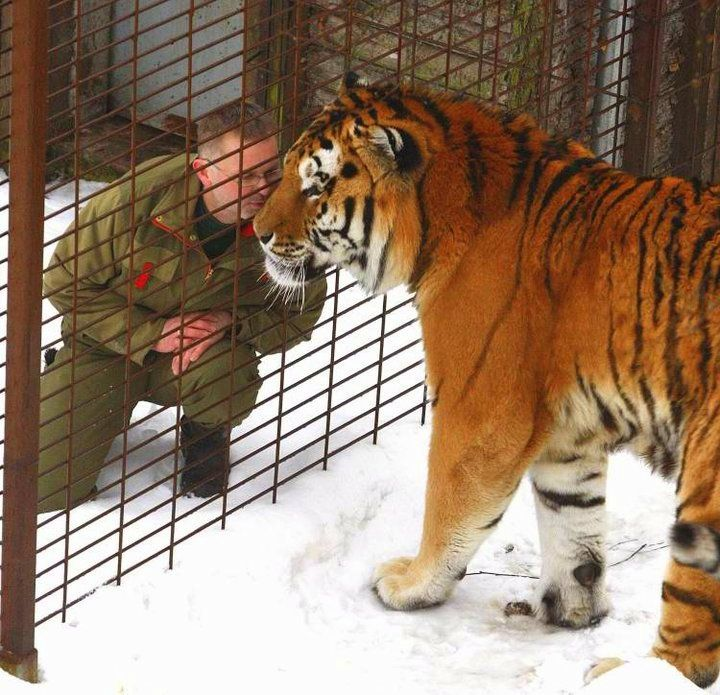 Russian Siberian Tiger is real the Biggest and Tallest Cat