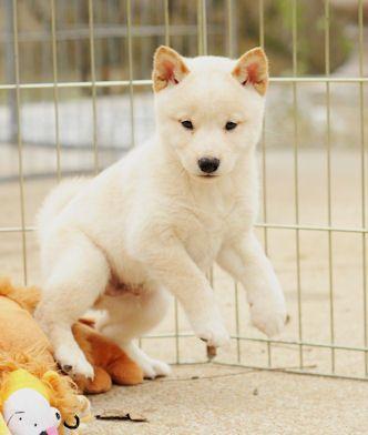 sunny terrace kennel ~ lovemyshiba ~ cute cream shiba inu puppy
