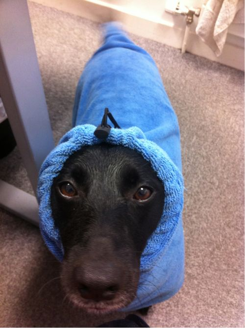 Keeping cosy in his doggy dressing gown | We are Massive Dog Fans ...