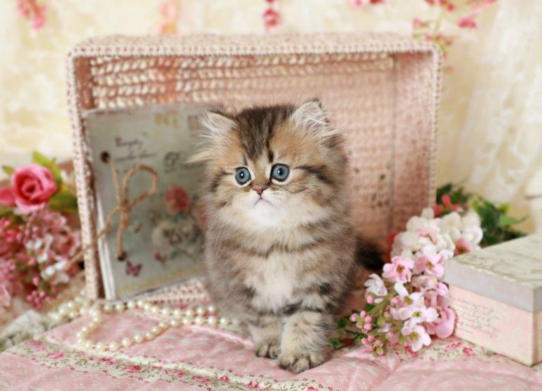 Golden Persian Kittens Persian Kittens For Sale Persian Kittens For Sale Teacup Kitten Teacup Persian Cats