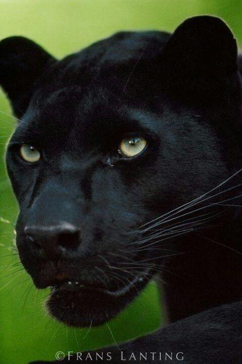 Black panther | Big Cats | Big cats, Animals beautiful ... - photo#21
