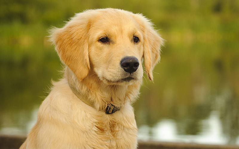 11 Big Fluffy Dog Breeds Perfect To Cuddle With Golden Retriever