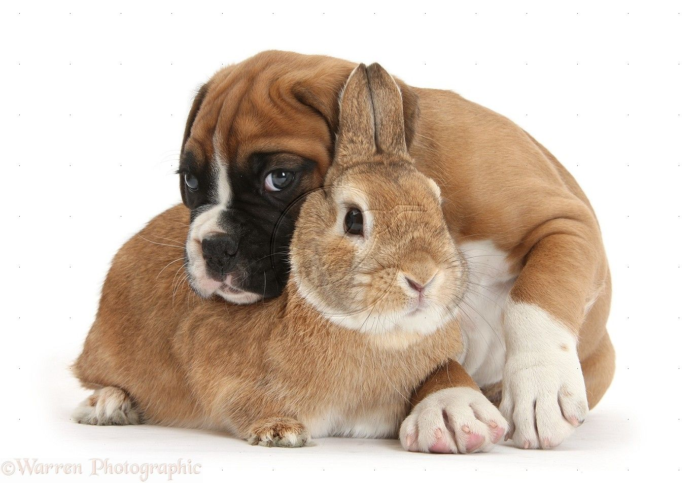 Boxer puppy for sale near Huntsville / Decatur, Alabama ...  Boxer Dogs With Bunnies