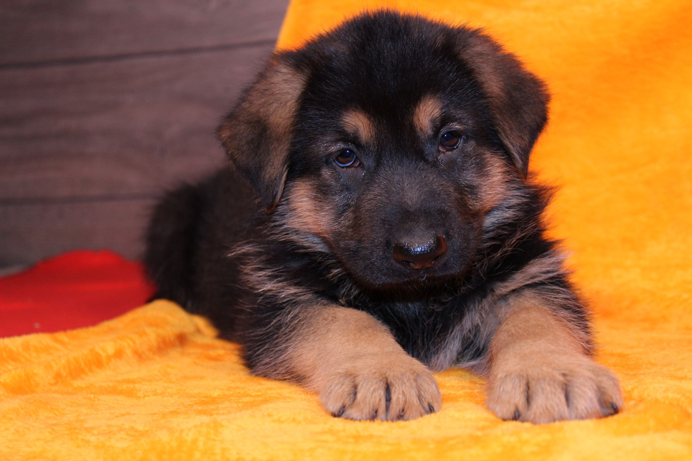 Zack A Male Akc German Shepherd Puppy For Sale In Nappanee