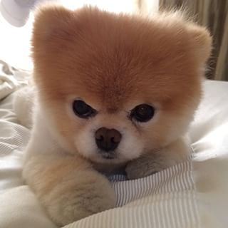 When Boo was sleepy and fluffy. | 42 Times Boo And Buddy Were The Cutest Dogs In The World In 2014