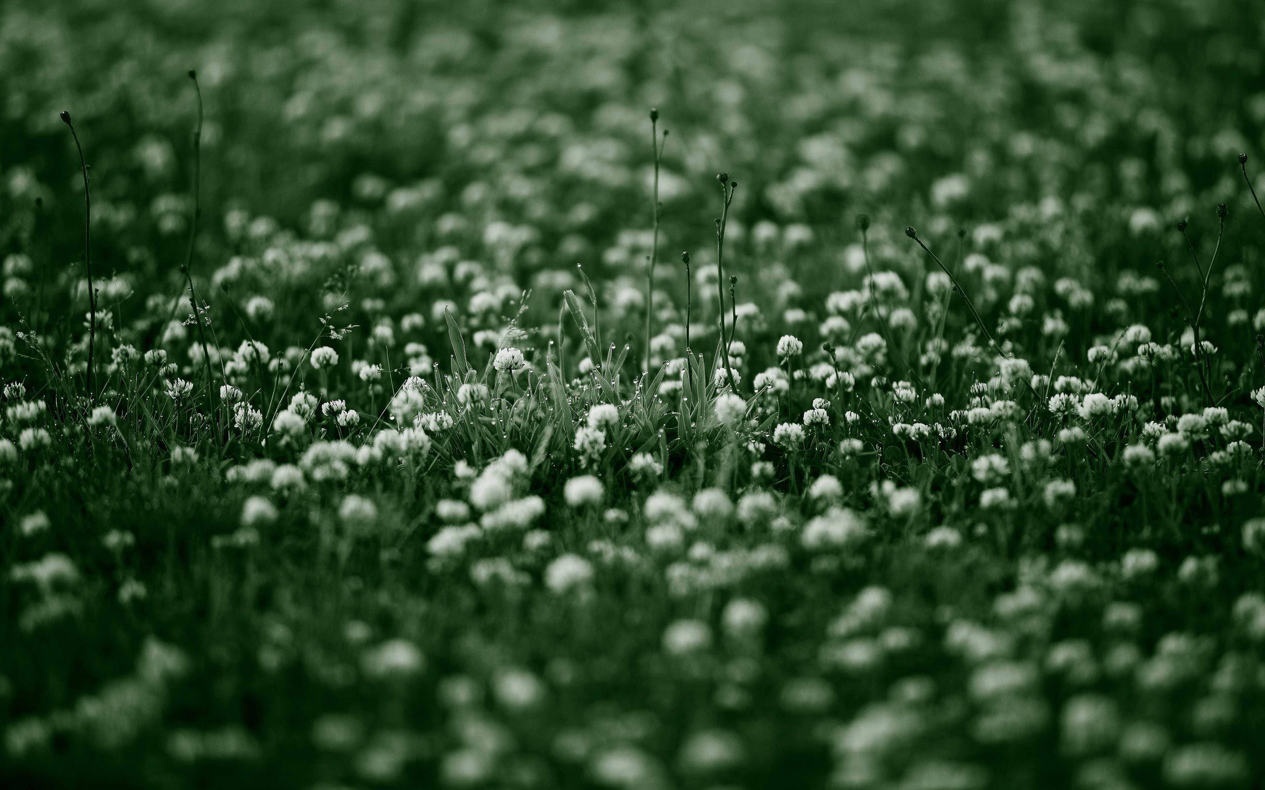обои dandelion