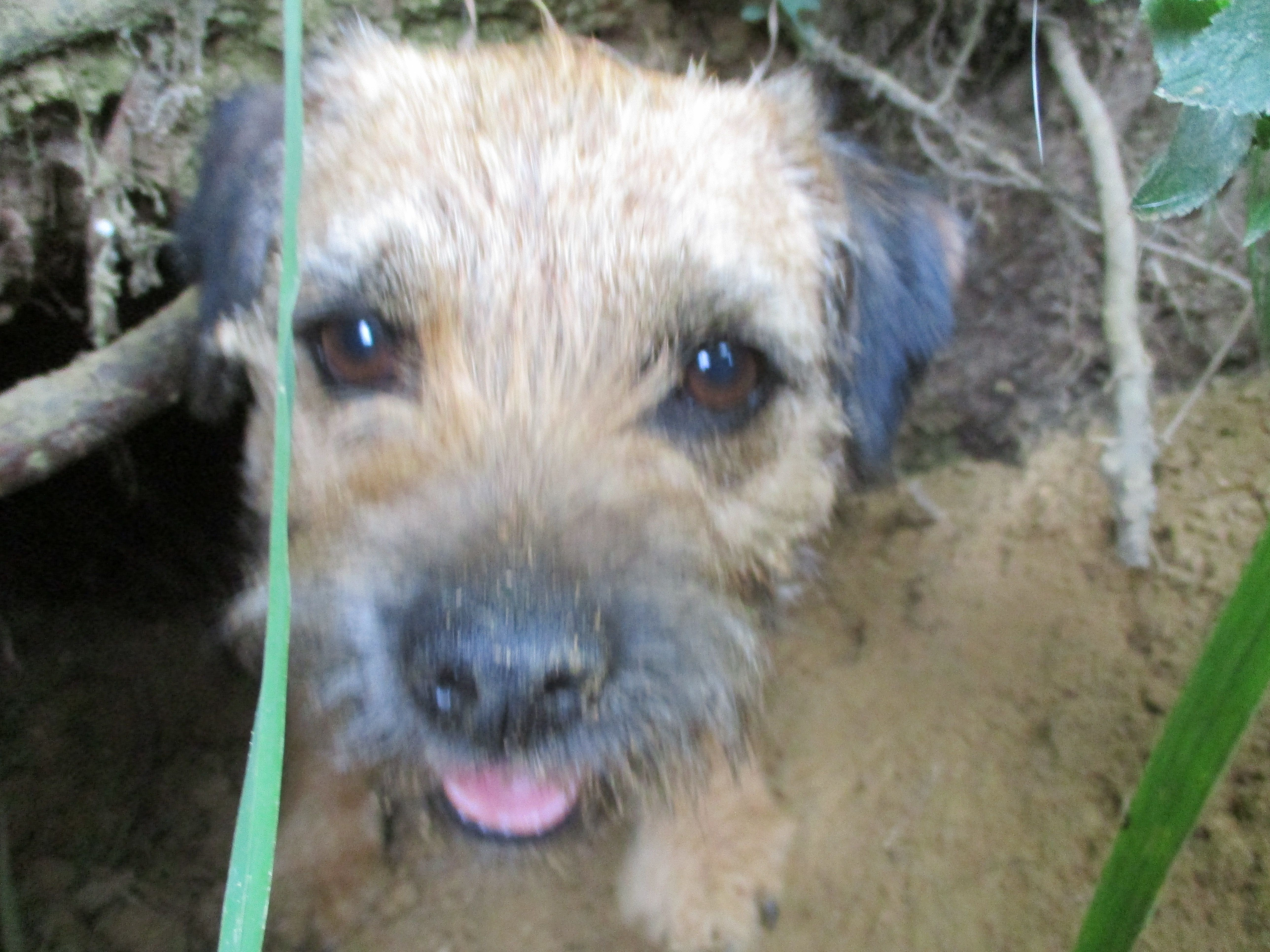 The Thin Portfolio Of The Working Border Terrier Border Terrier