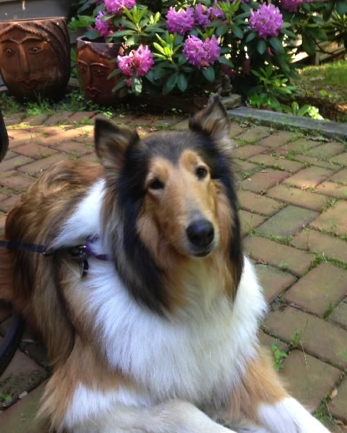 Collie Rescue Inc Serving Virginia Maryland Adopted Pets Collie Rescue Pet Adoption Pet Dogs