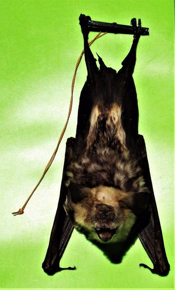 Diadem Roundleaf or Leaf-nosed Bat Hipposideros diadema Skull FAST FROM USA