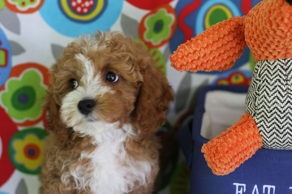 Foxglove Farm Has Beautiful Cavachon And Cavapoo Puppies For Sale