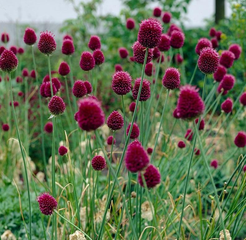 Drumstick Allium Seeds Beautiful Perennial Plant 25 Etsy In 2020 Allium Flowers Allium Sphaerocephalon Bulb Flowers