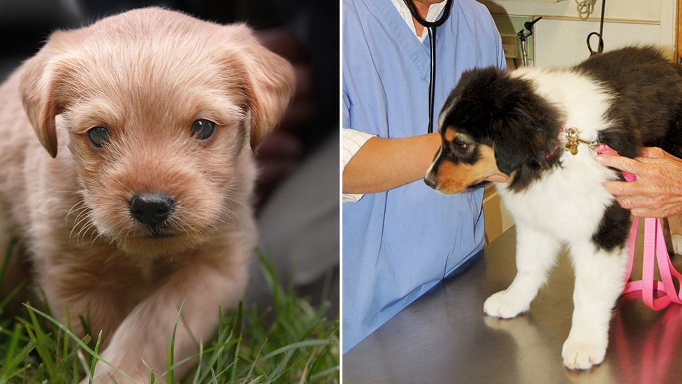 Puppies bought from pet shop 'found with disease that can