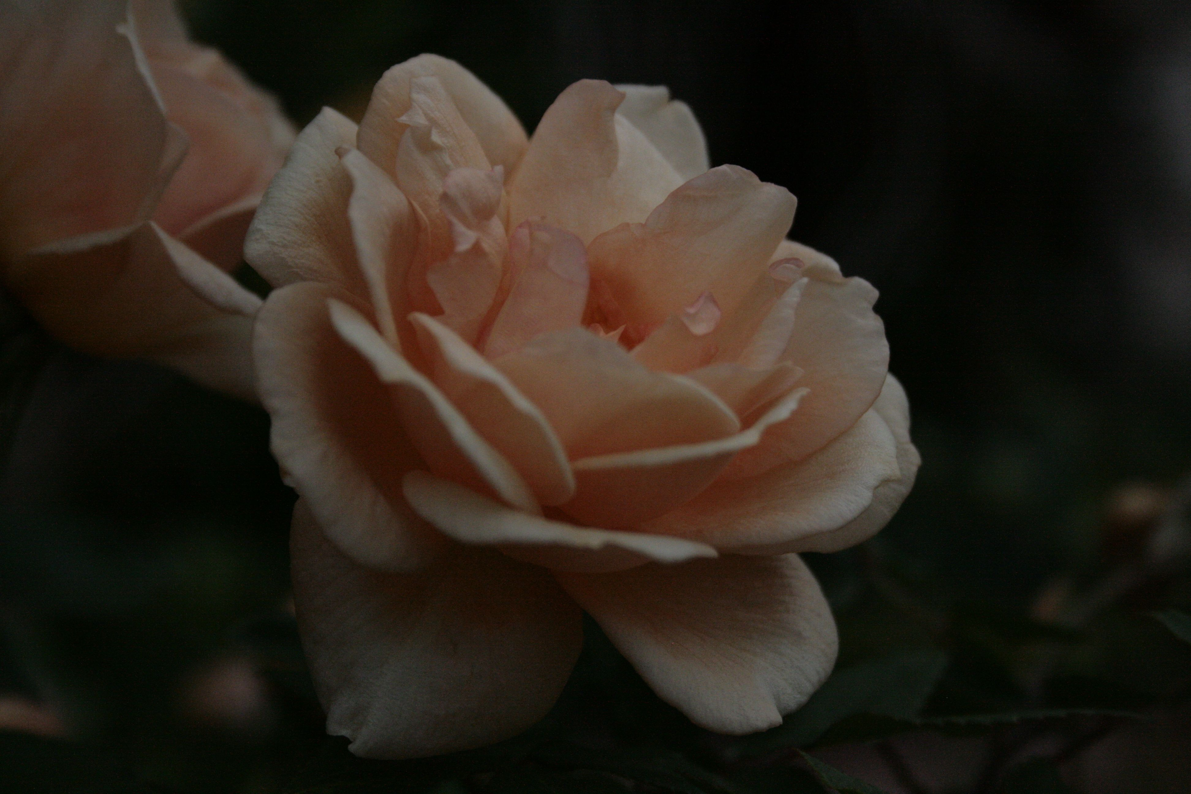 I love how delicate and beautiful the petals appear
