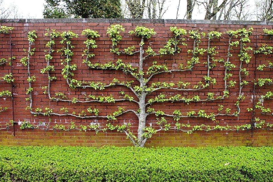 Espaliered Fruit Tree Also Called A Wall Tree The Term Espalier Also Refers To The Plant Itself Grown In Th Espalier Fruit Trees Fruit Trees Landscape Design