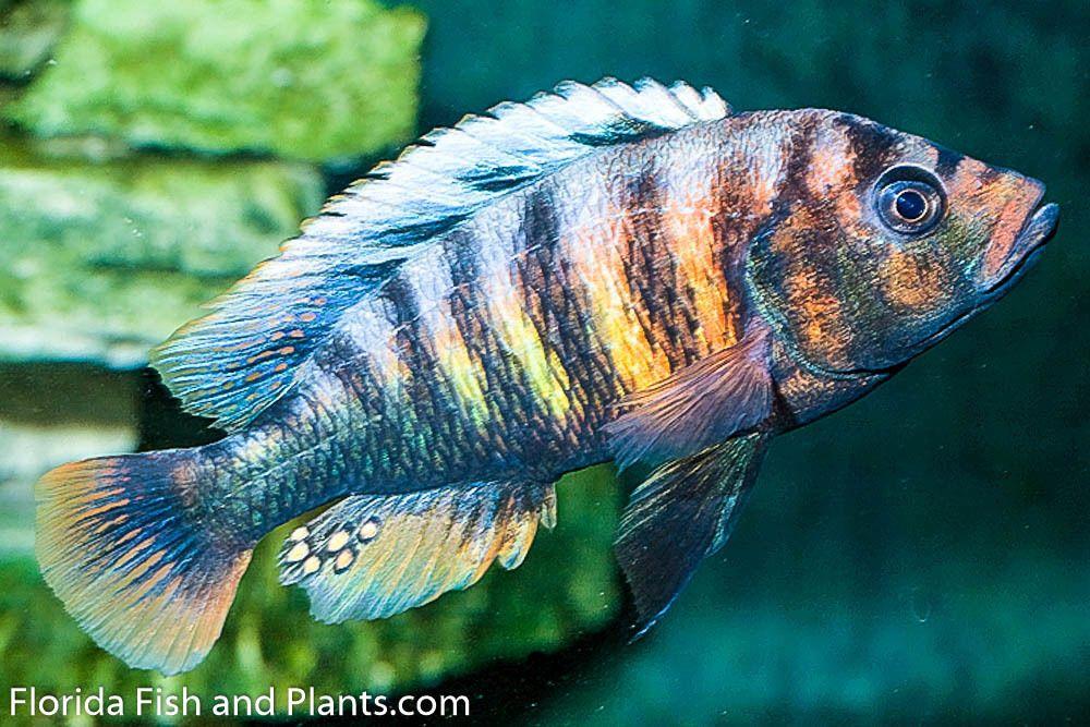 1 Pundamilia Sp Crimson Tide 1 5 Inch African Cichlid Live Fish Victorian Cichlids African Cichlids Fish