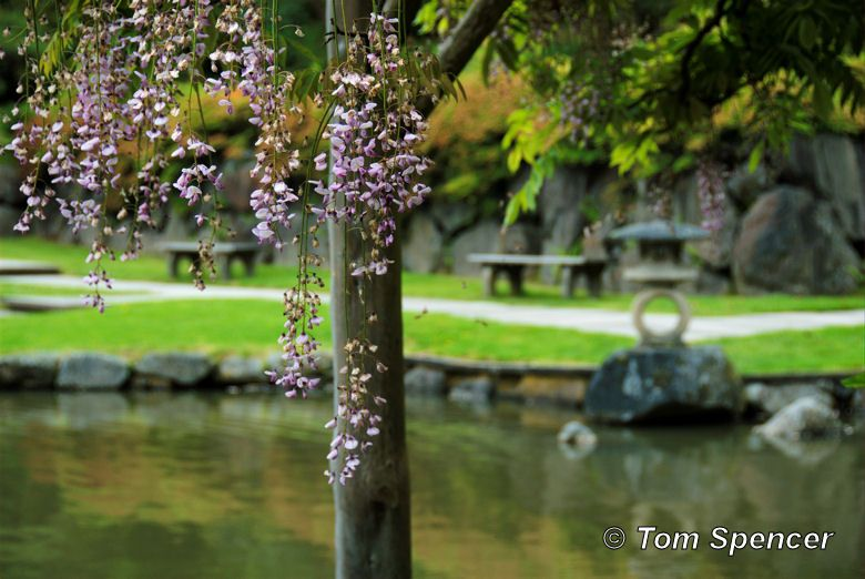 Wisteria blossoms in the Seattle Japanese Tea Garden.