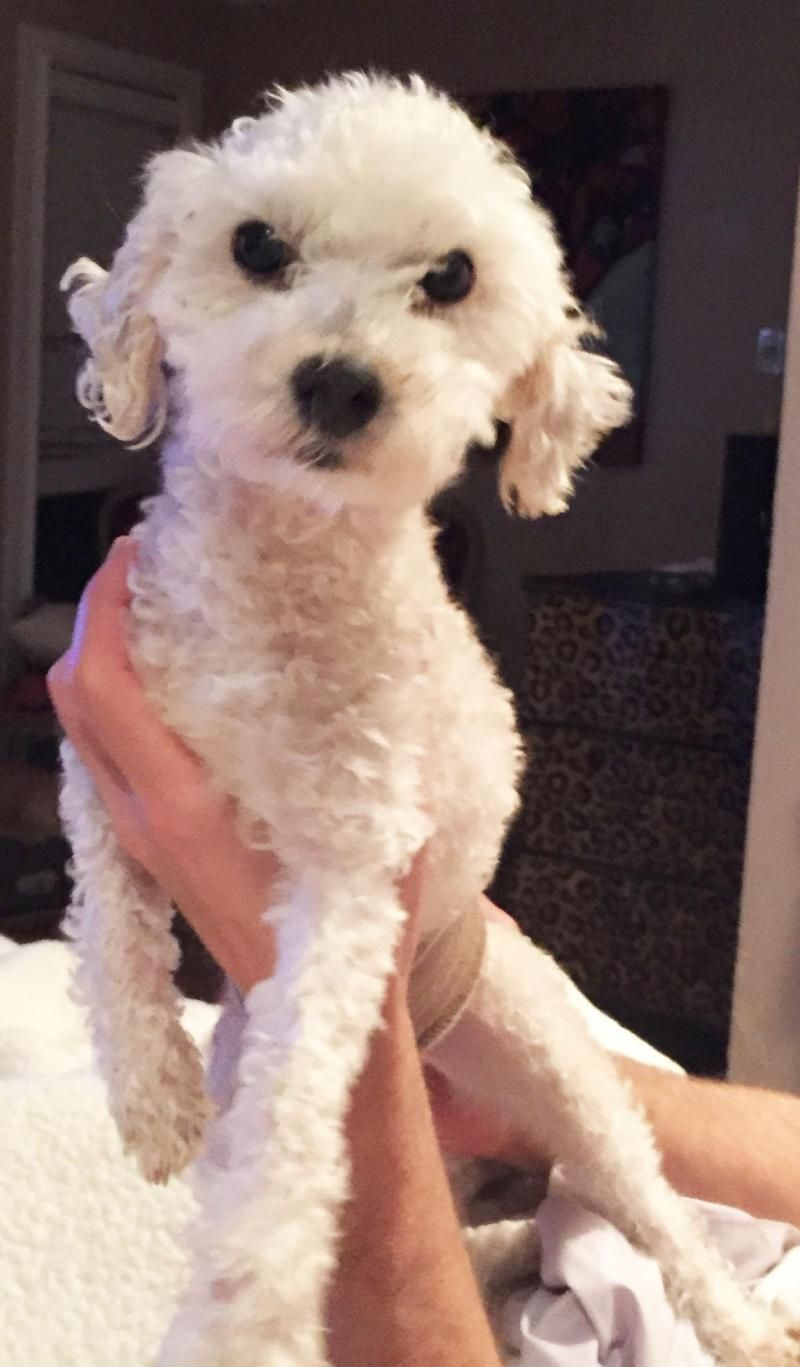 Adopt Chase On Poodle Mix Dogs Poodle