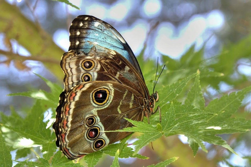 Butterflies 2013 Anne Hallett Picasa Web Albums (With