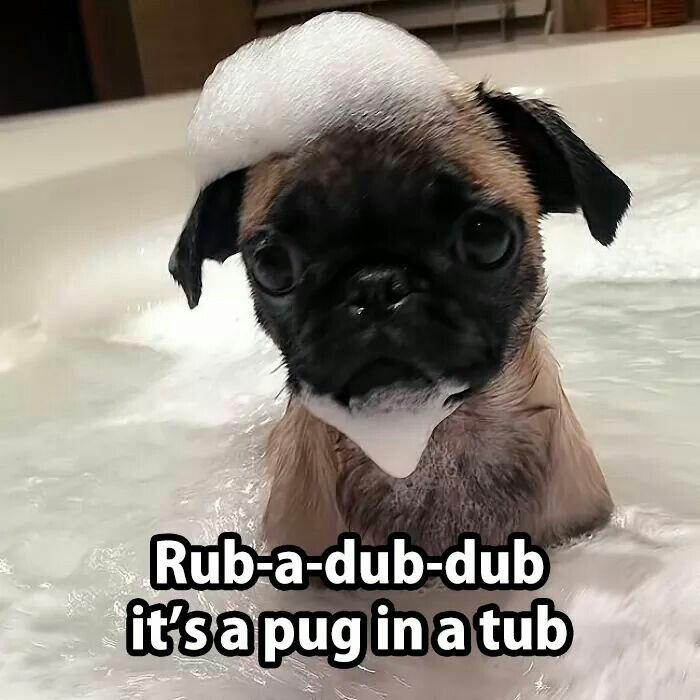 How To Give A Dog A Bath Funny Animals With Captions Cute Pugs