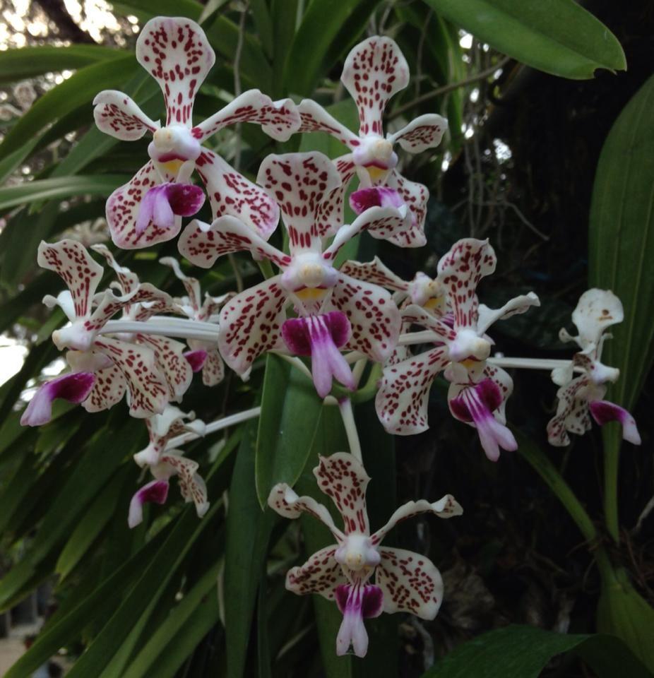 Bluenanta Orchids Plants Floral