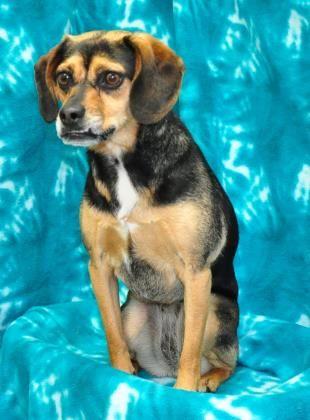 3/ 25 Petango.com – Meet MIA, a 2 years Beagle / Basset Hound available for adoption in Eureka, CA Contact Information Address 6073 Loma Avenue, Eureka, CA, 95503 Phone (707) 442-1782 Website http://.www.sequoiahumane.org Email info@sequoiahumane.org