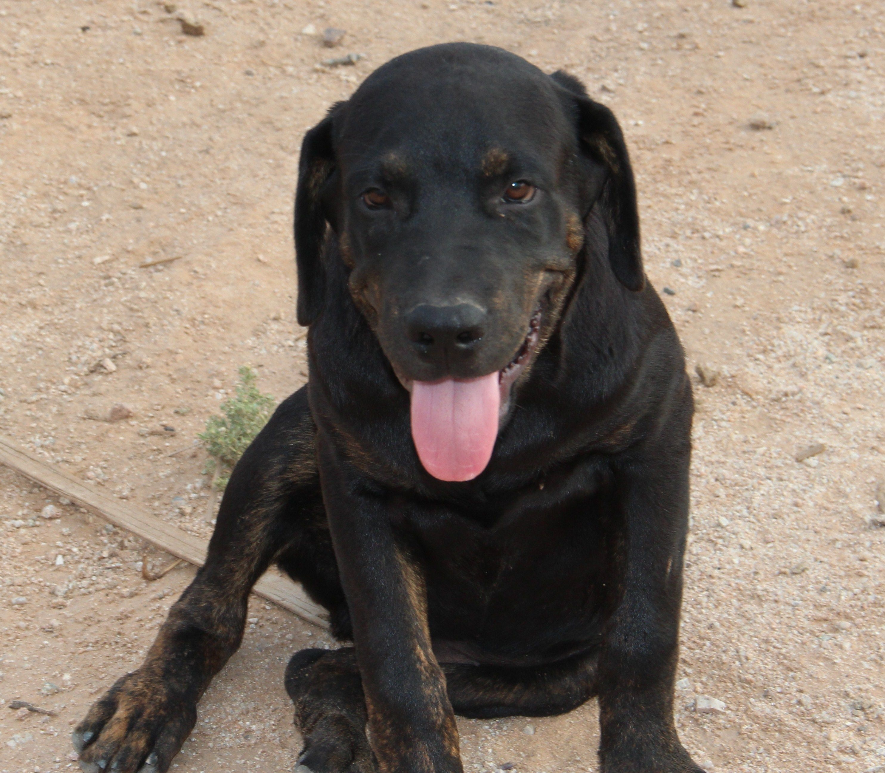 520 840 4345 Black With Brindle Points Male Rottweiler Cane Corso