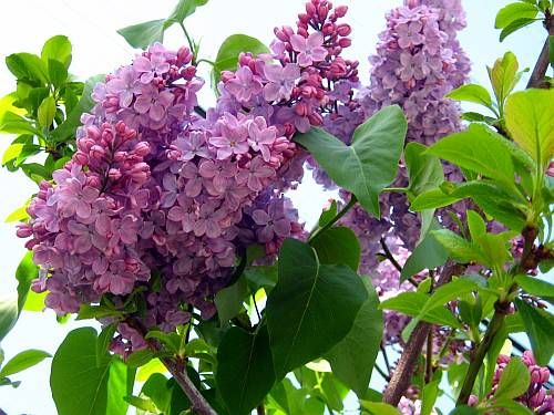 My Lilac Didn T Make It Either So Again I M Replanting Lilac Summer Beer Plants