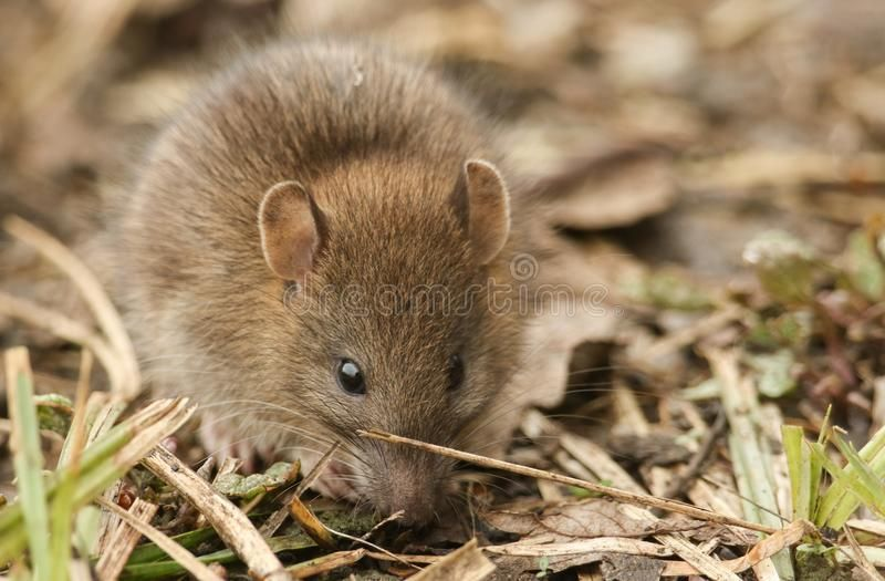 A cute baby wild Brown Rat Rattus norvegicus searching for ...