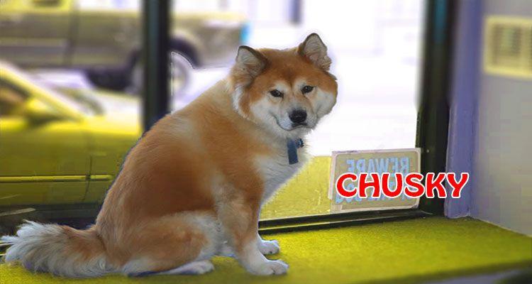 Chusky Unique Dog Breeds Chowski Puppies Husky Mix