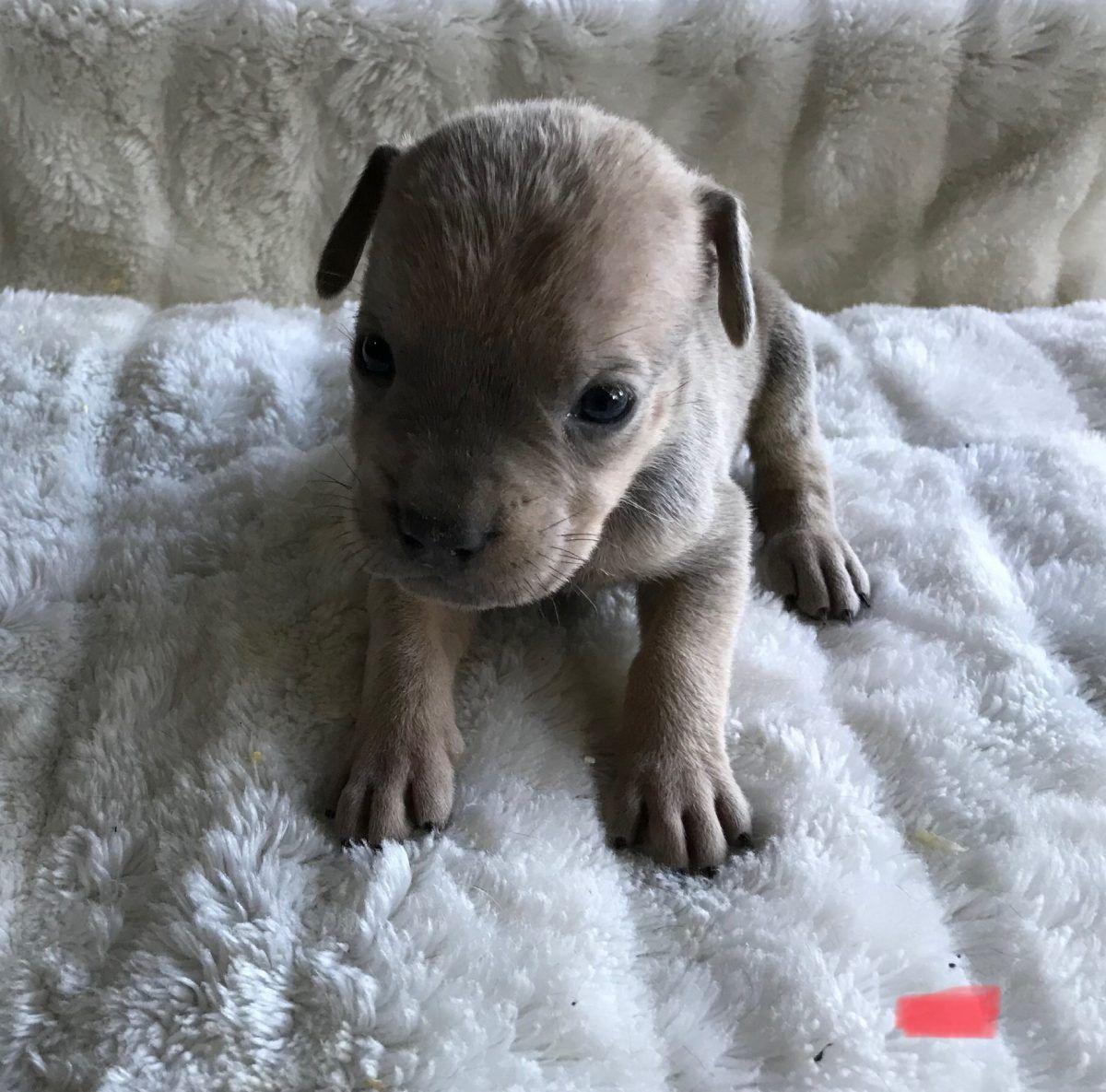 Red Formentino Male Akc Cane Corso For Sale Las Vegas Nevada Puppy Canecorso Puppies Puppies Near Me Cane Corso