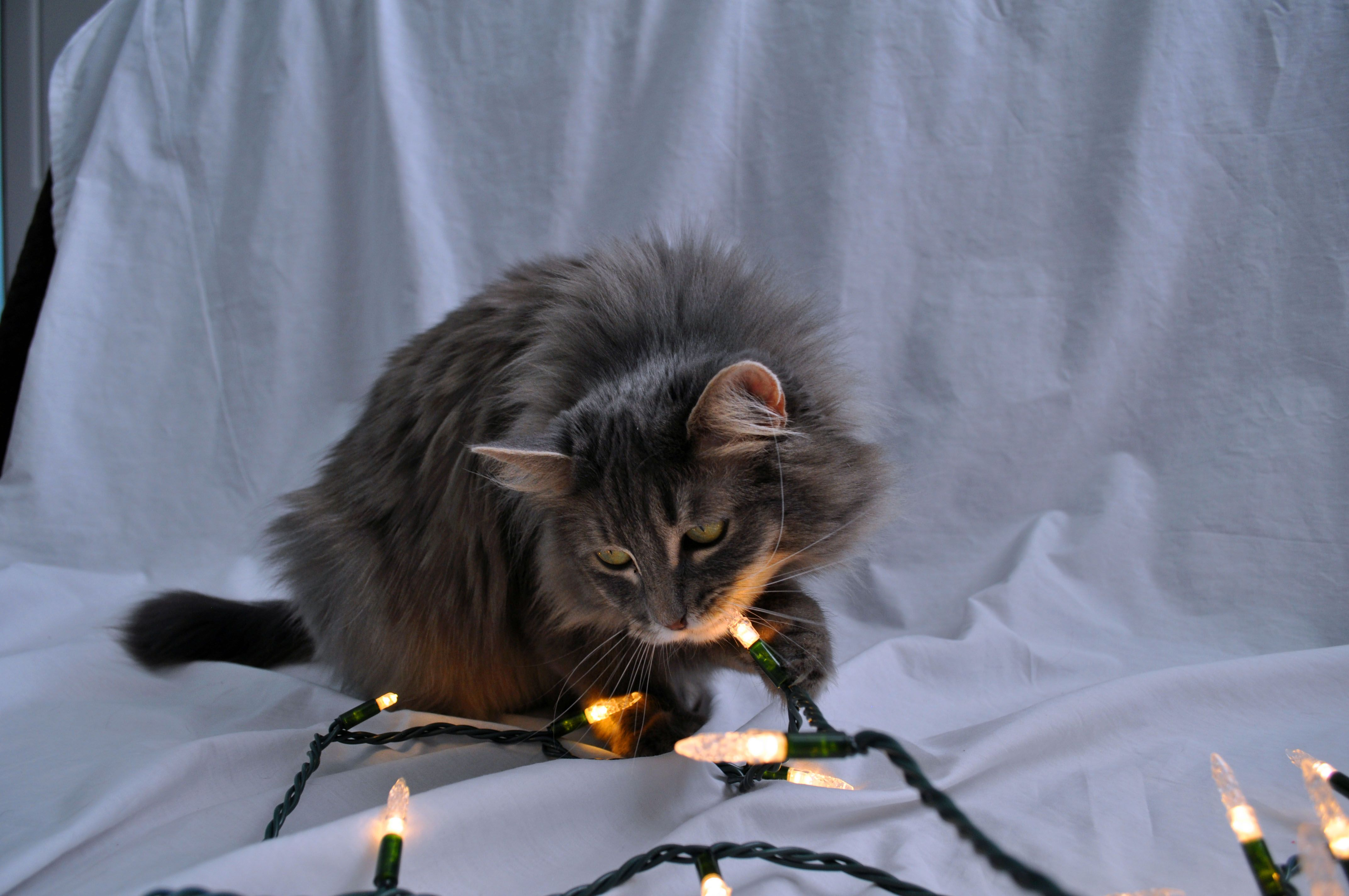 What cats naturally do when presented with Christmas lights -- LoveLifeInc.me