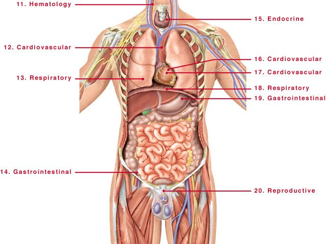 human body structure male