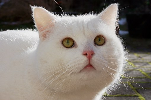 Pin by Cat Lover on White Cats Cat with blue eyes, White