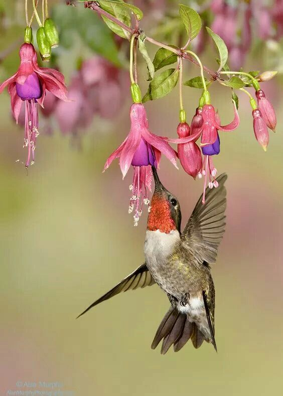 Ruby Throat On Fuchsia Hummingbird Pictures Hummingbirds Photography Beautiful Birds