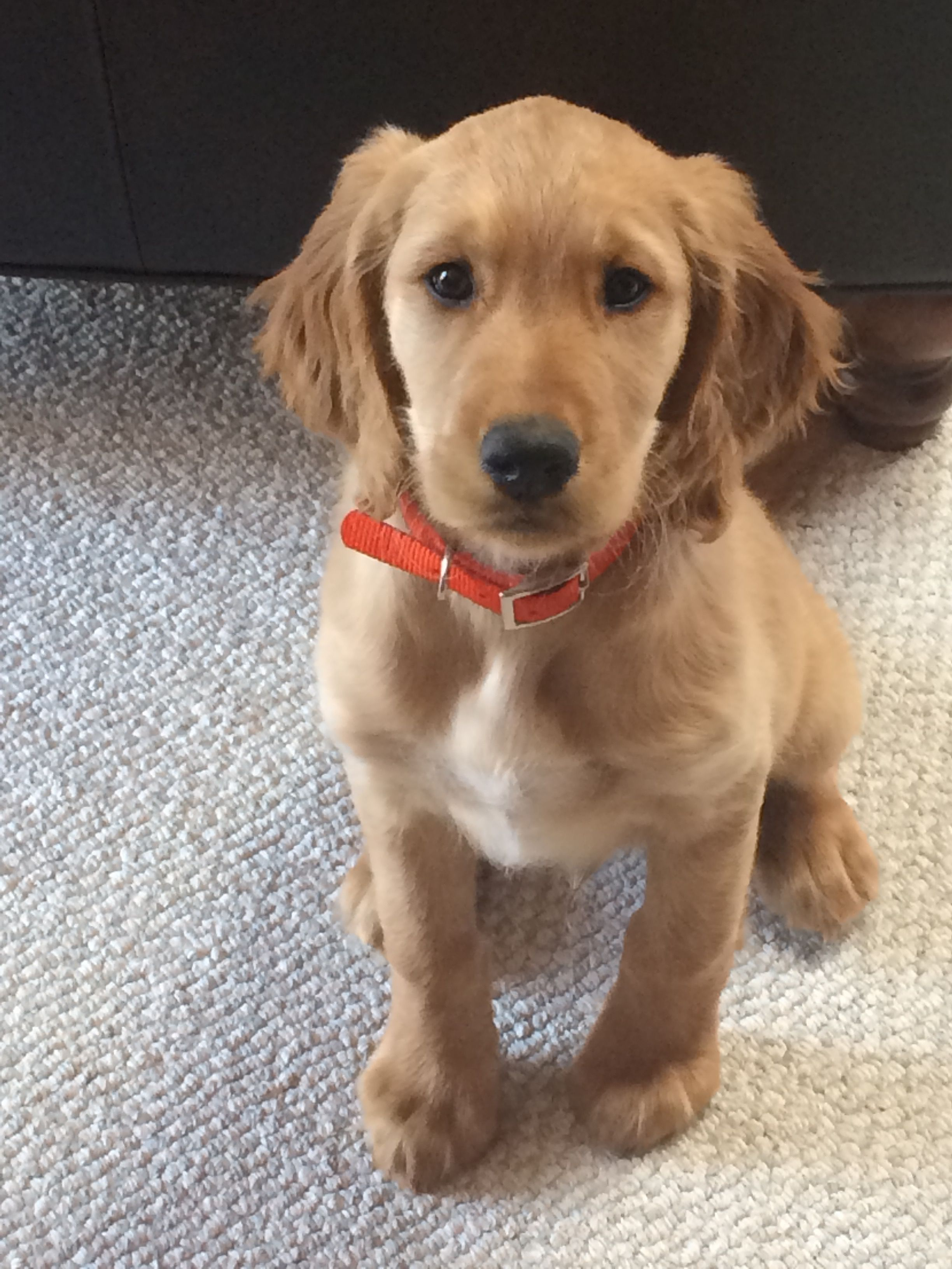 Our 5 Week Old Hooper Irish Setter Golden Retriever Puppy