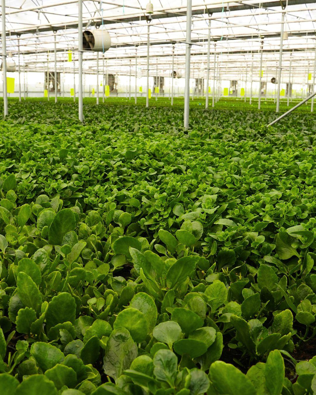 Kalanchoe üretimi... #gardenkoala #kalanchoe #bitki #bitkibakım #çiçekbakımı #süsleme #çiçeksüsleme #gelinbuketi #organizasyon #ticaret #ihraacat #ithalat #türkiye #yerli #tarım #sera #çiçekyetiştirme #evdekorasyon #dekorasyon