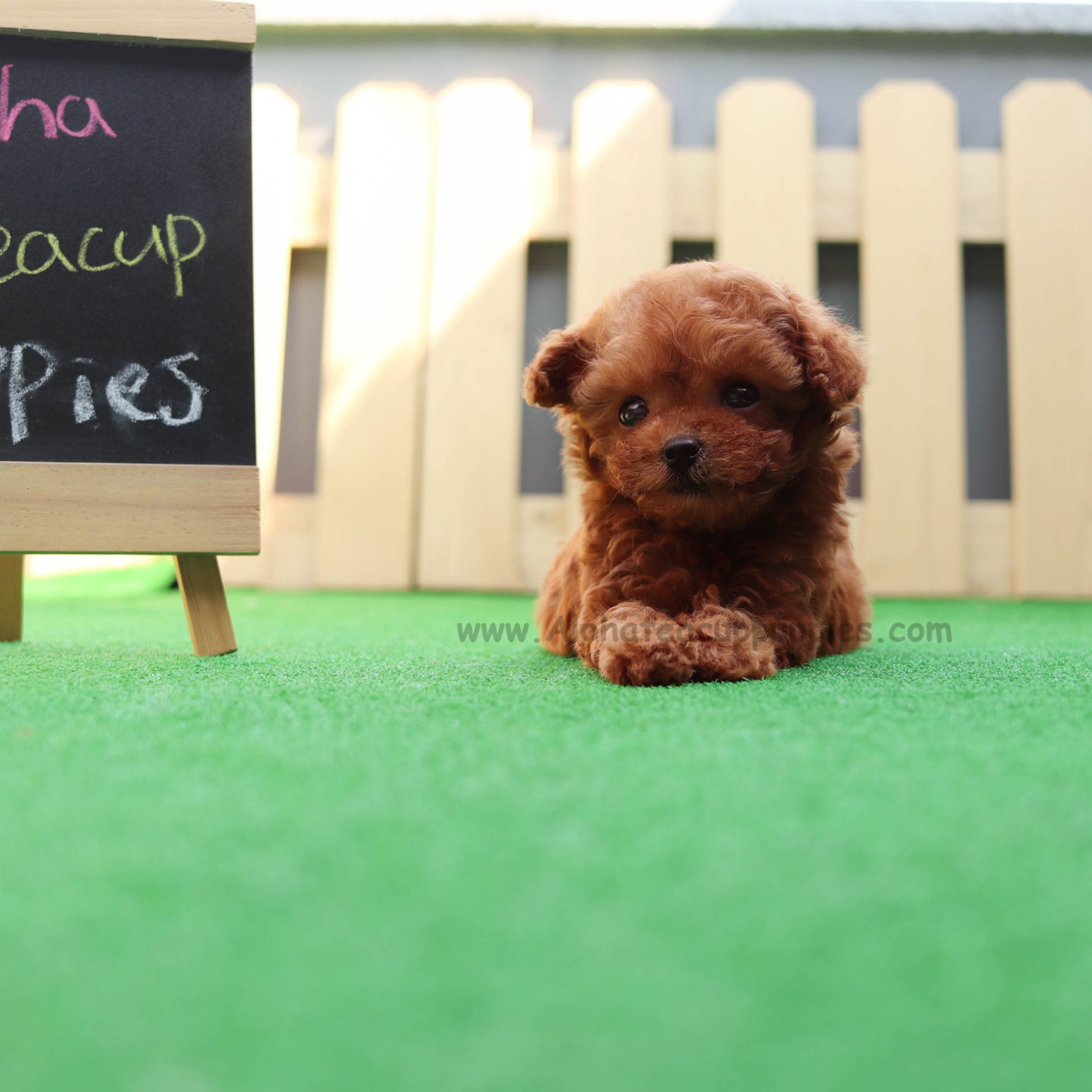 Micro Teacup Poodle Full And Curly Red Fur No One Will