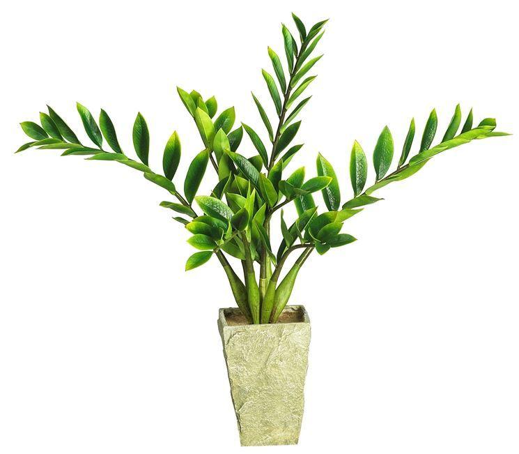 Piante Verdi Da Appartamento Zamioculcas.Zamia Zamioculcas Zamiifolia Zamioculcas Zamioculcas