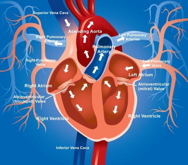 heart blood flow diagram with lungs - google search | human, Muscles