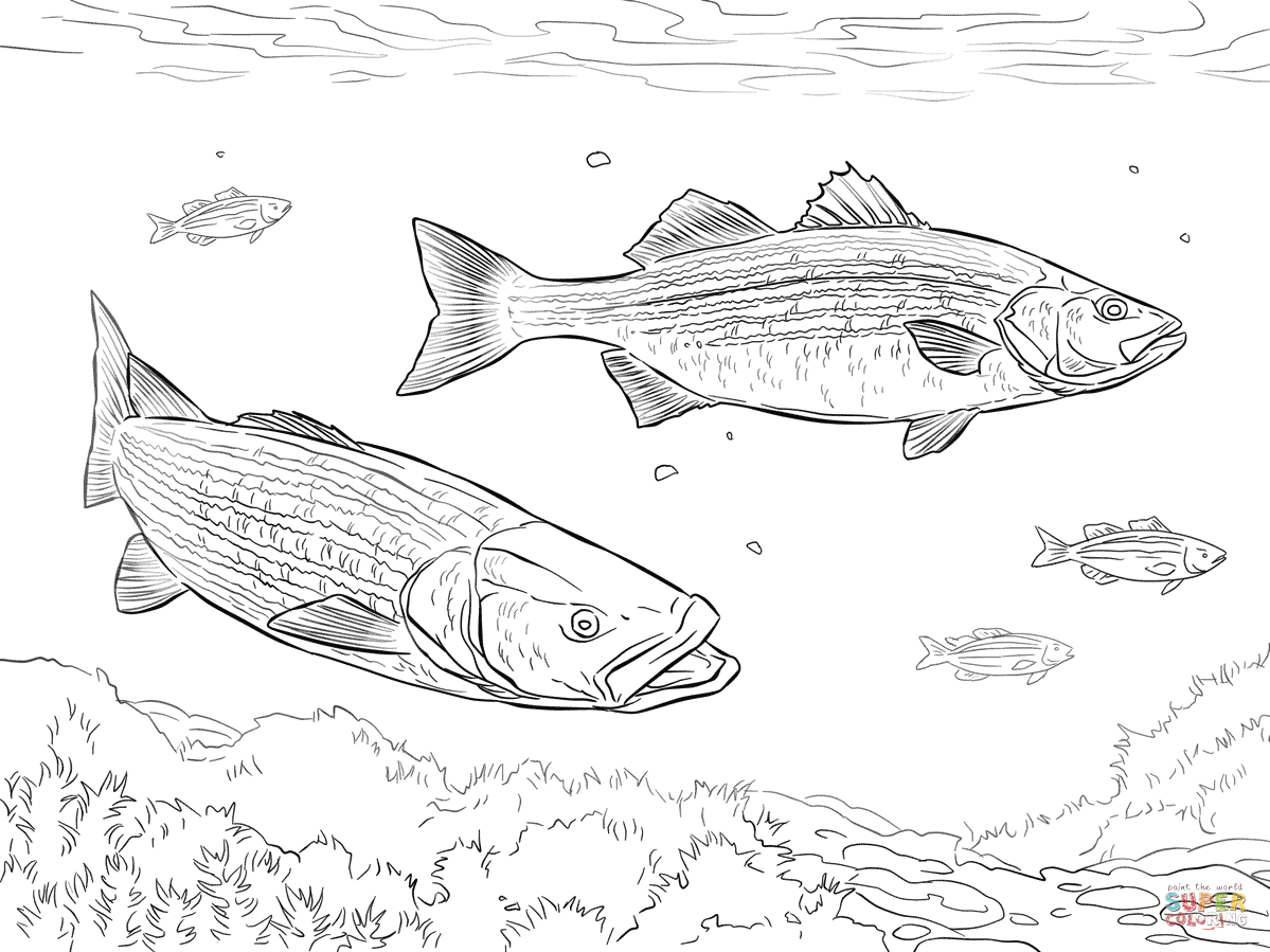 two striped basses  coloring pages fish coloring page