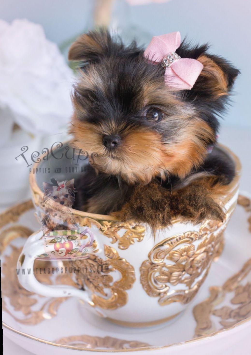 Cute Puppies Yorkies Baby Miniensaiodiadascriancas Candy Ensaioinfantil Yorkie Puppy For Sale Yorkshire Terrier Puppies Yorkie Puppy