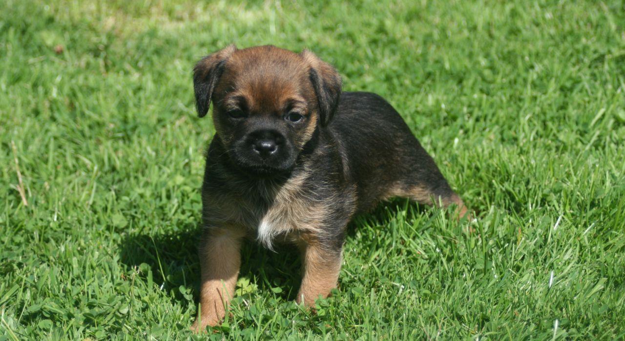 Beautiful Border Terrier Puppies Border Terrier Border Terrier