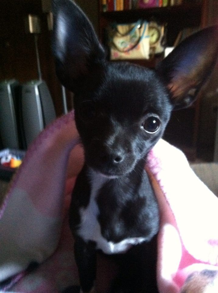 Pin by Karen Gilloon on Chihuahua Chihuahua, Pup, Kittens