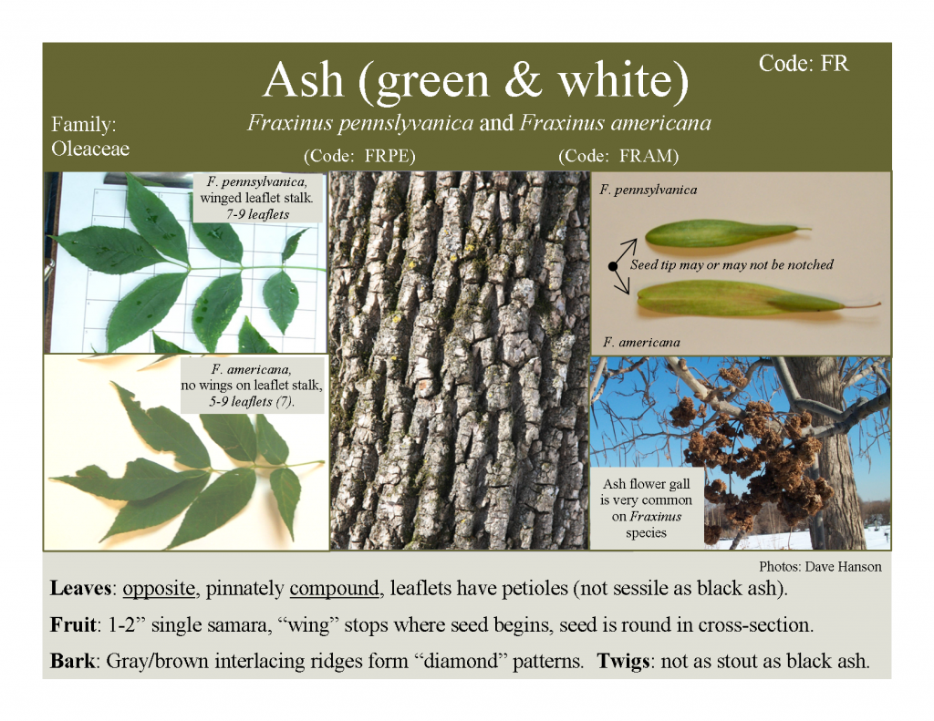 identify ash tree in winter - Google Search | weeds | Pinterest ...